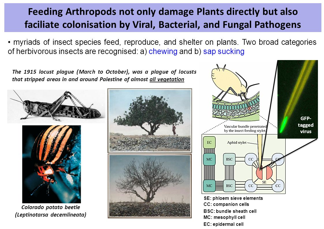 Feeding Arthropods not only damage Plants directly but also