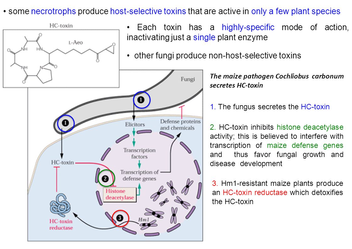 • other fungi produce non-host-selective toxins