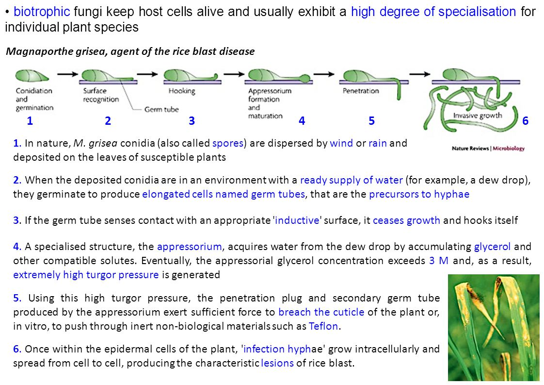 • biotrophic fungi keep host cells alive and usually exhibit a high degree of specialisation for individual plant species