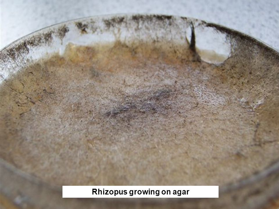 Rhizopus growing on agar