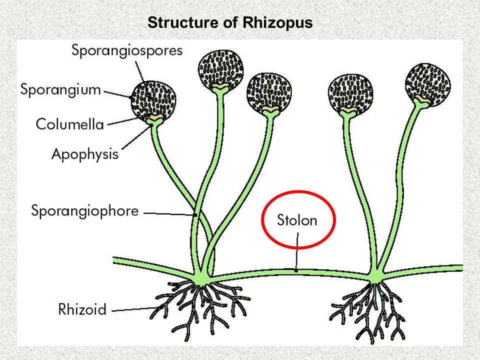 Structure of Rhizopus