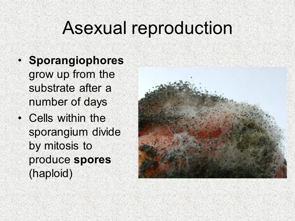 Asexual reproduction Sporangiophores grow up from the substrate after a number of days.