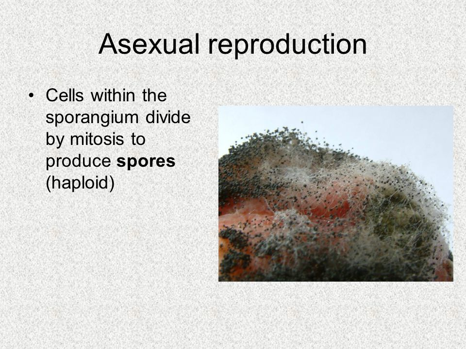 Asexual reproduction Cells within the sporangium divide by mitosis to produce spores (haploid)