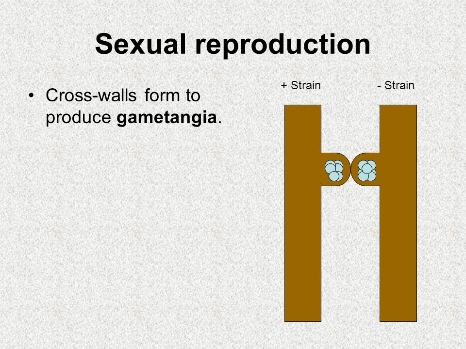 Sexual reproduction Cross-walls form to produce gametangia. + Strain