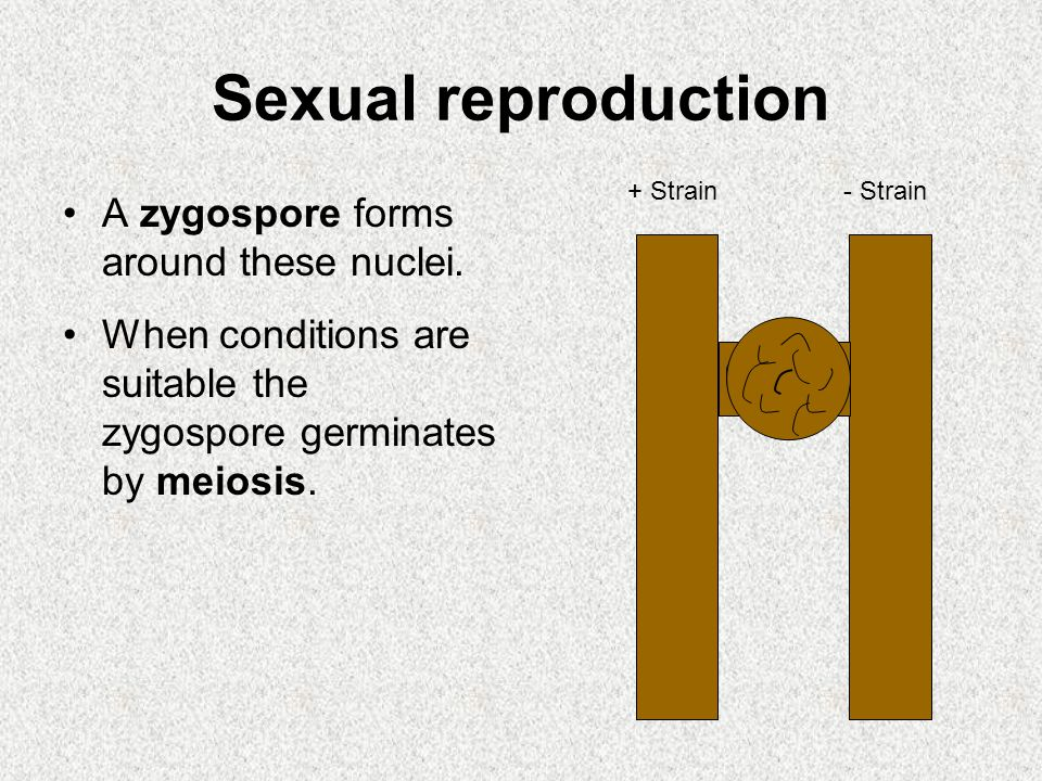 Sexual reproduction A zygospore forms around these nuclei.