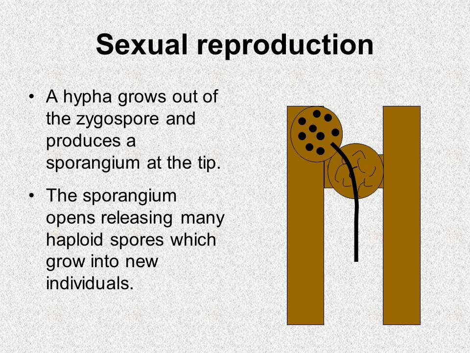 Sexual reproduction A hypha grows out of the zygospore and produces a sporangium at the tip.