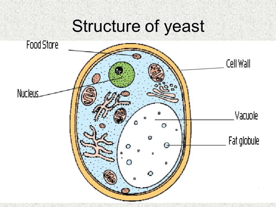 Structure of yeast