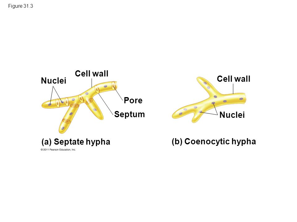 Cell wall Nuclei Cell wall Pore Septum Nuclei (a) Septate hypha