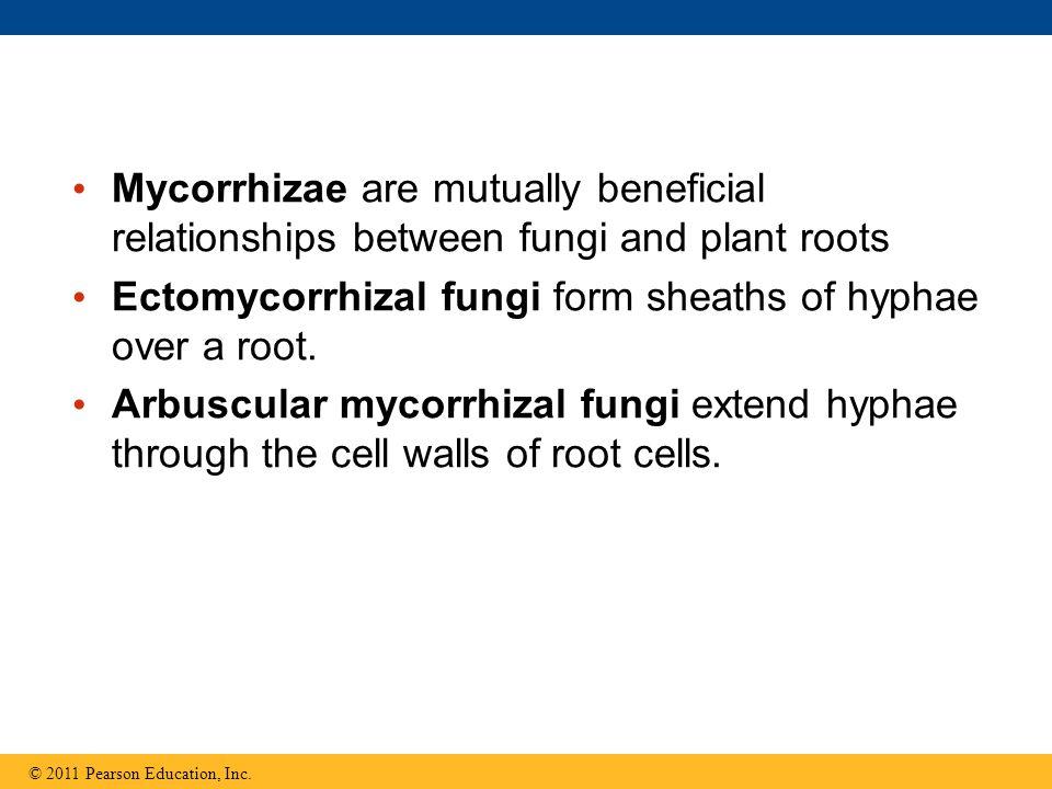 Ectomycorrhizal fungi form sheaths of hyphae over a root.