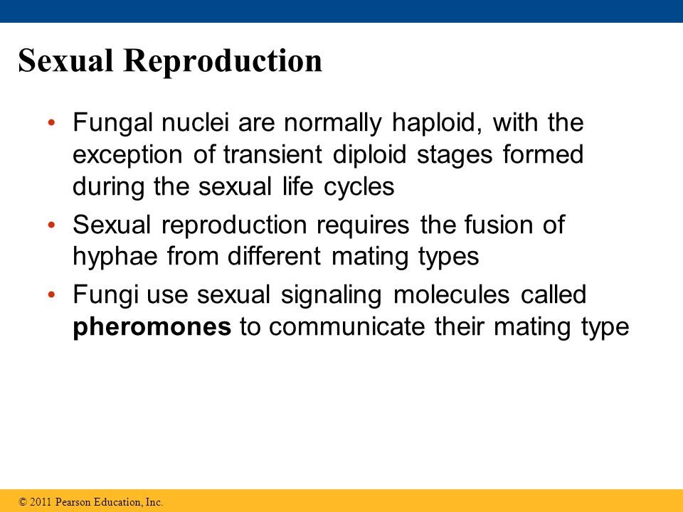 Sexual Reproduction Fungal nuclei are normally haploid, with the exception of transient diploid stages formed during the sexual life cycles.