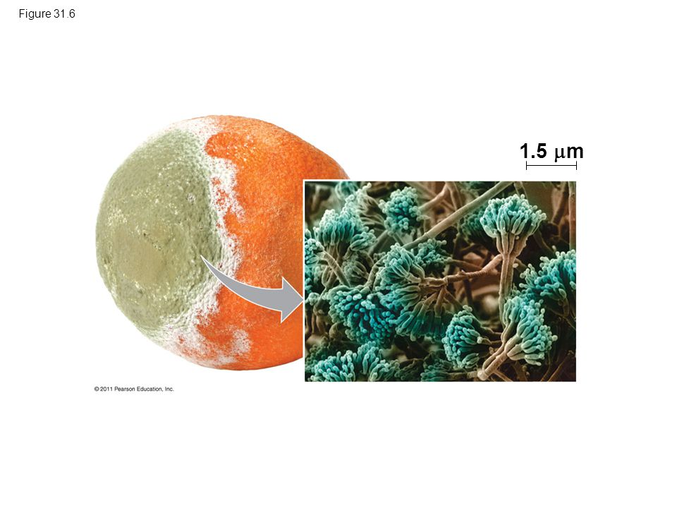 Figure 31.6 1.5 m Figure 31.6 Penicillium, a mold commonly encountered as a decomposer of food.