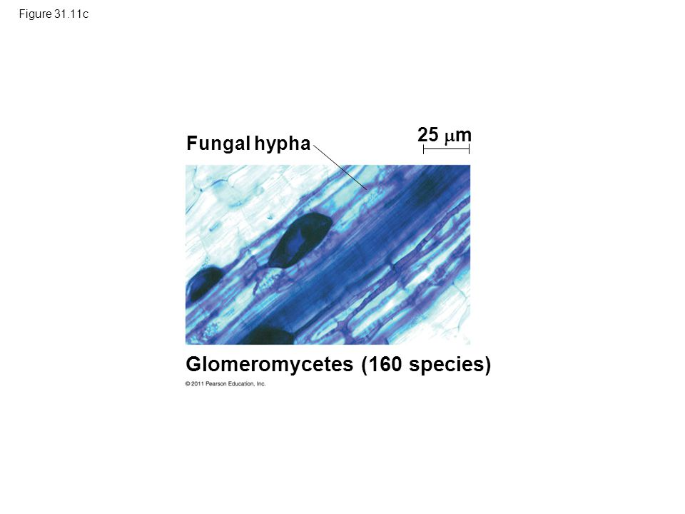 Glomeromycetes (160 species)