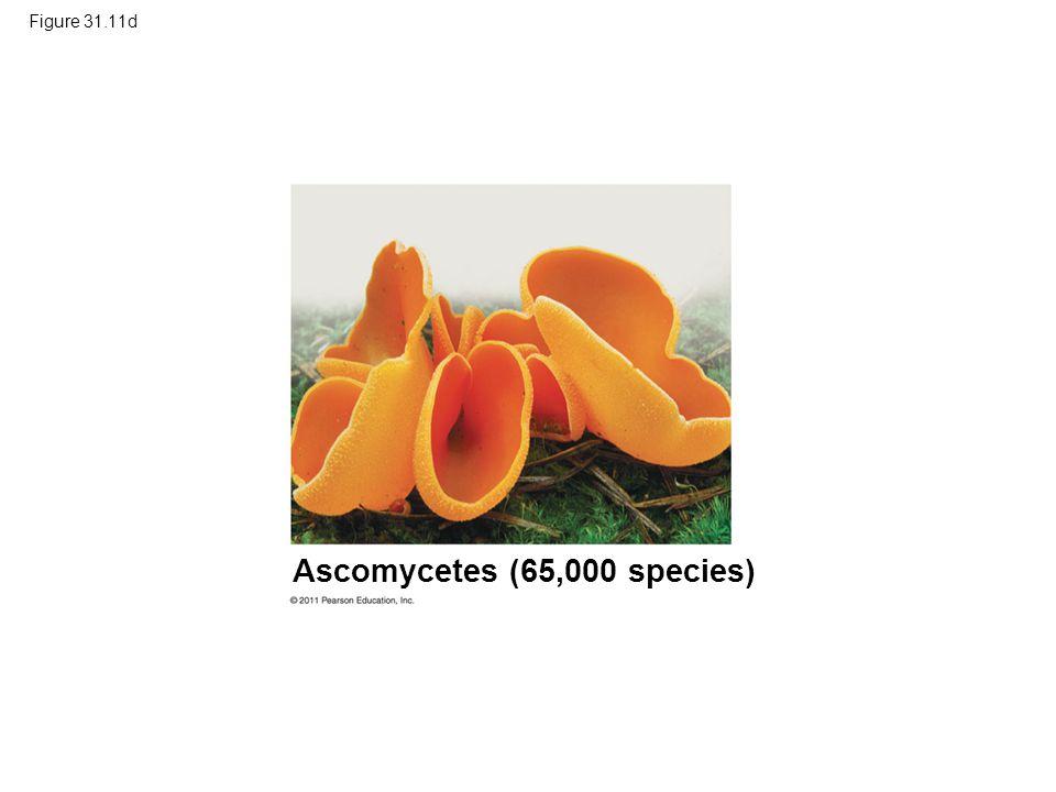 Ascomycetes (65,000 species)