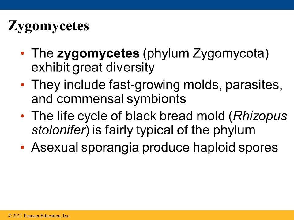 Zygomycetes The zygomycetes (phylum Zygomycota) exhibit great diversity. They include fast-growing molds, parasites, and commensal symbionts.