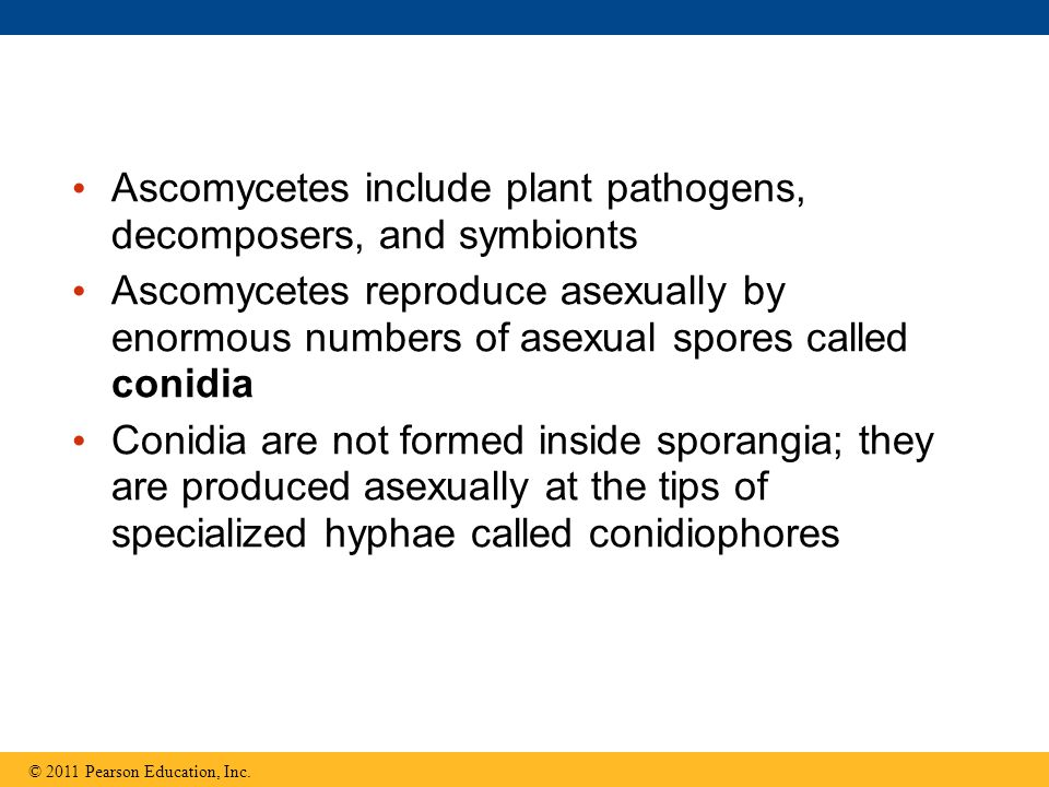 Ascomycetes include plant pathogens, decomposers, and symbionts