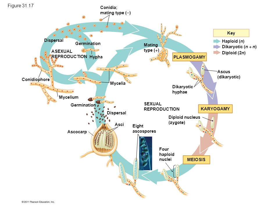 Figure 31.17 The life cycle of Neurospora crassa, an ascomycete.