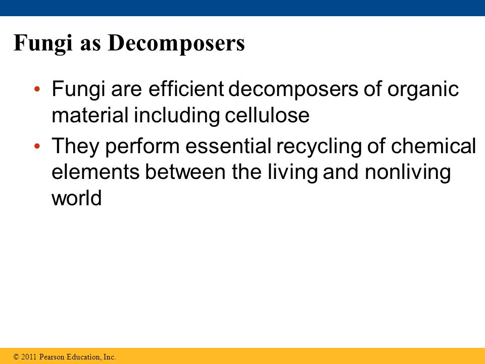 Fungi as Decomposers Fungi are efficient decomposers of organic material including cellulose.
