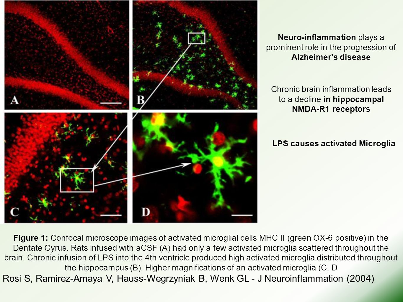 LPS causes activated Microglia