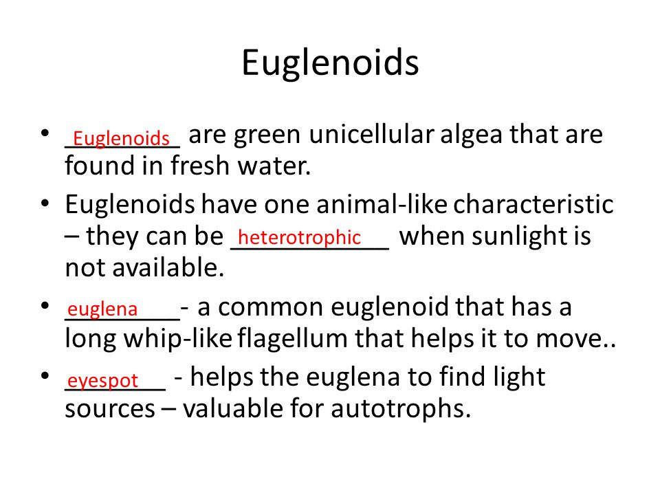 Euglenoids ________ are green unicellular algea that are found in fresh water.