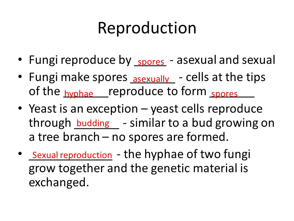 Reproduction Fungi reproduce by _____ - asexual and sexual