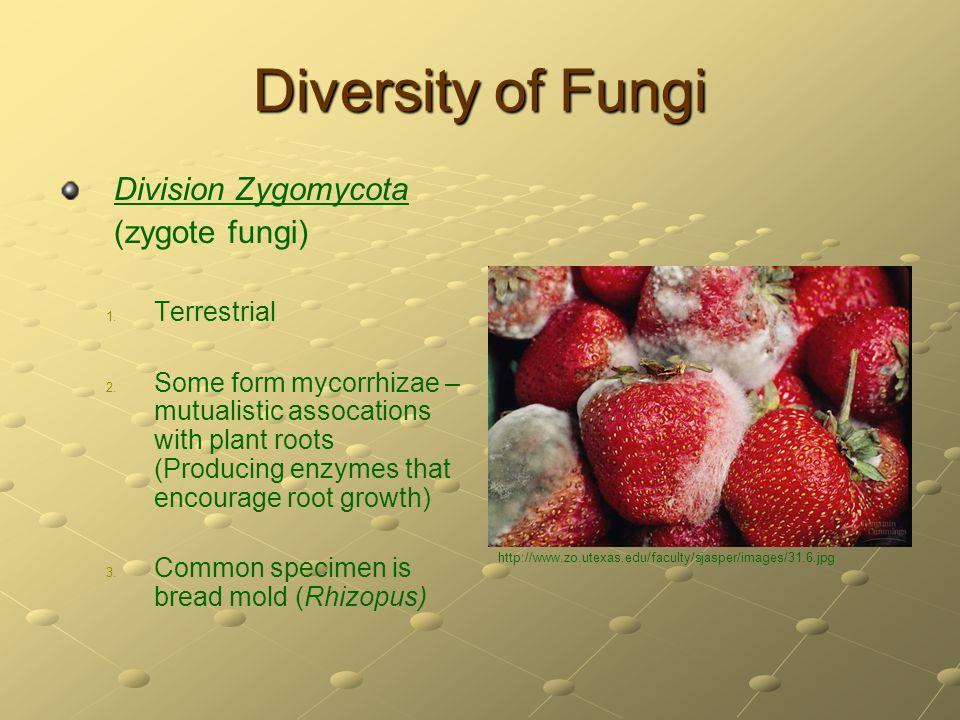Diversity of Fungi Division Zygomycota (zygote fungi) Terrestrial