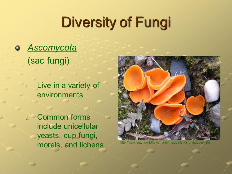 Diversity of Fungi Ascomycota (sac fungi)