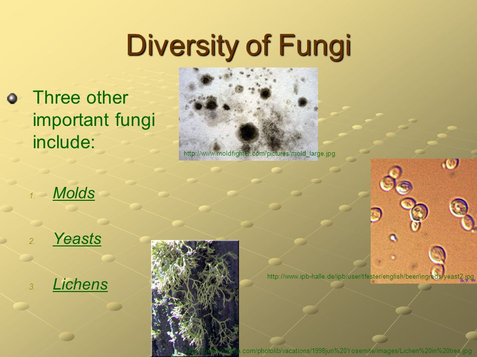 Diversity of Fungi Three other important fungi include: Molds Yeasts