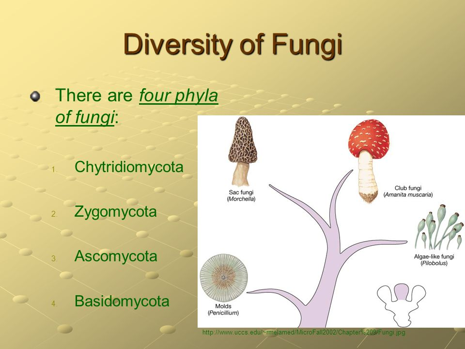 Diversity of Fungi There are four phyla of fungi: Chytridiomycota
