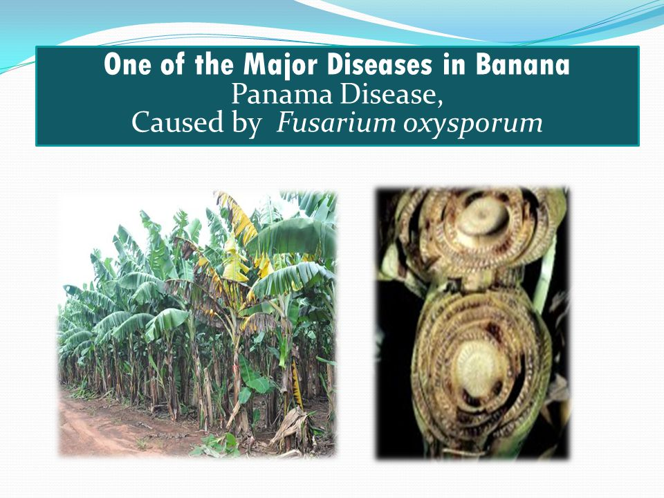 One of the Major Diseases in Banana