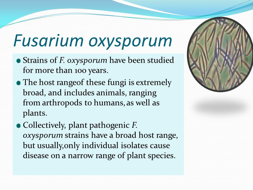 Fusarium oxysporum Strains of F. oxysporum have been studied for more than 100 years.
