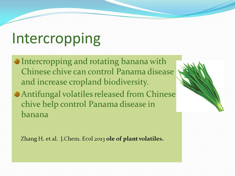 Intercropping Intercropping and rotating banana with Chinese chive can control Panama disease and increase cropland biodiversity.