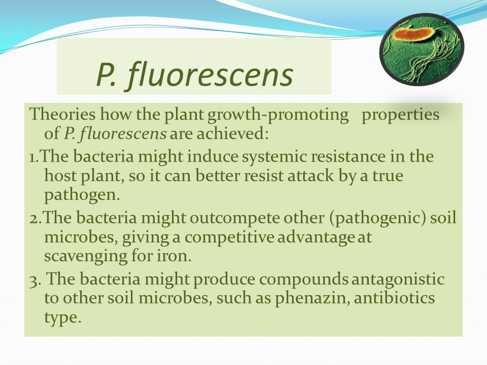 P. fluorescens Theories how the plant growth-promoting properties of P. fluorescens are achieved: