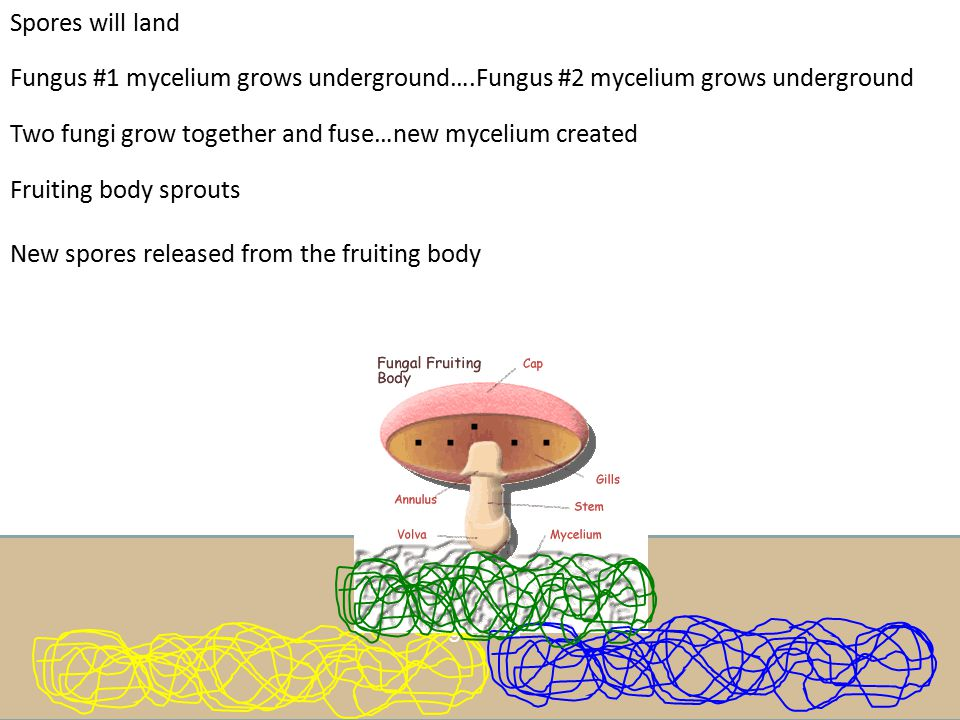 Spores will land Fungus #1 mycelium grows underground….Fungus #2 mycelium grows underground. Two fungi grow together and fuse…new mycelium created.