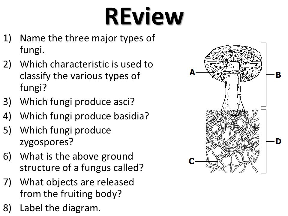 REview Name the three major types of fungi.