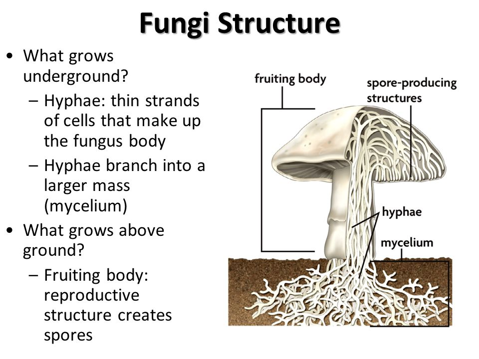 Fungi Structure What grows underground