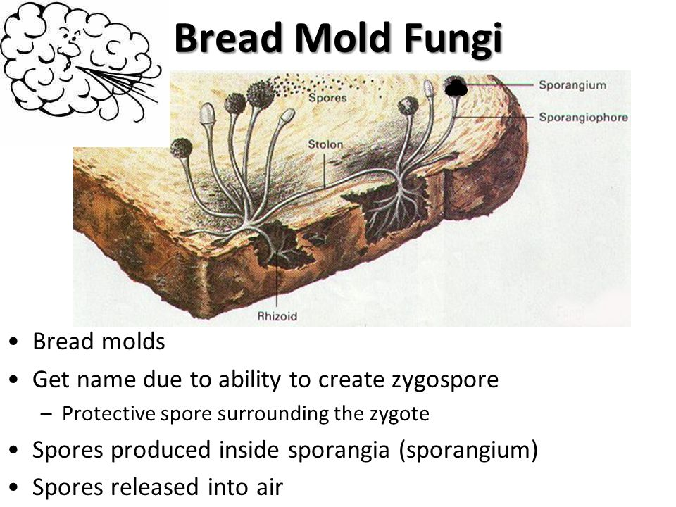 Bread Mold Fungi Bread molds