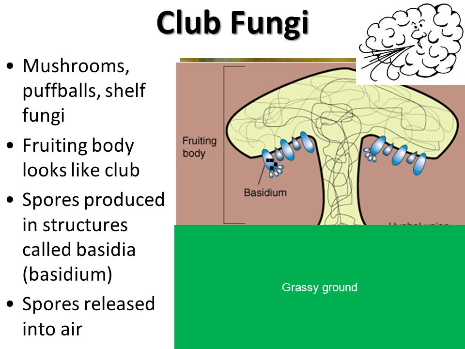 Club Fungi . . . . Mushrooms, puffballs, shelf fungi