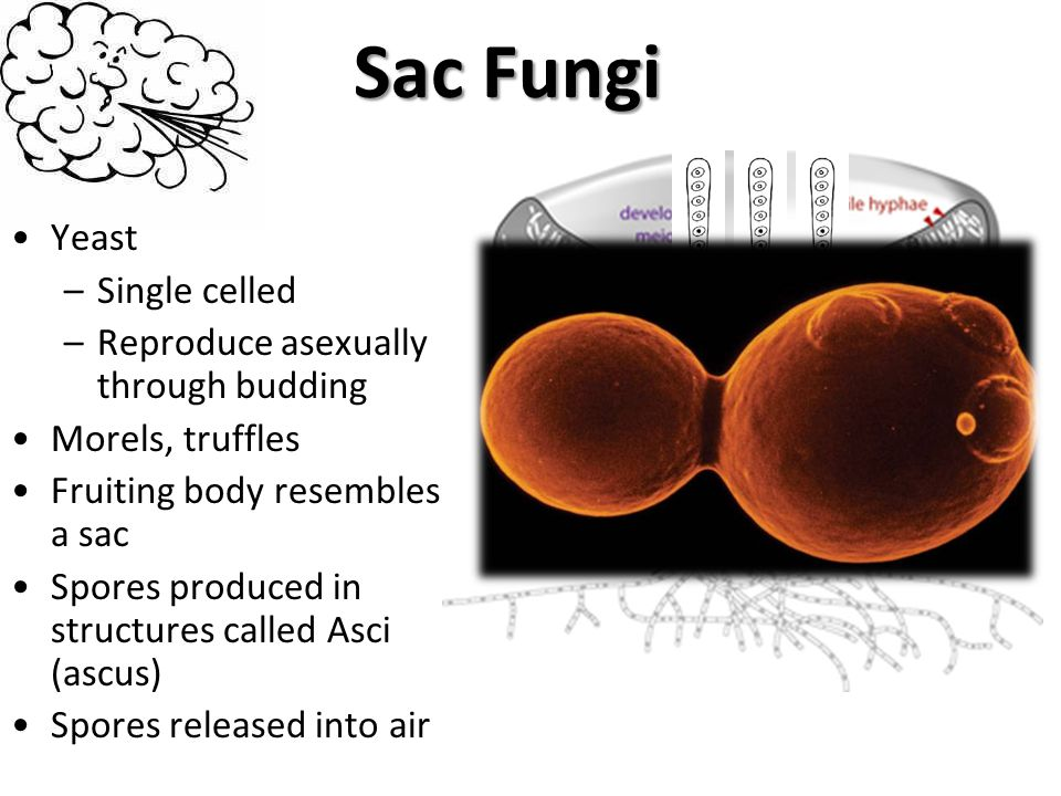 Sac Fungi Yeast Single celled Reproduce asexually through budding