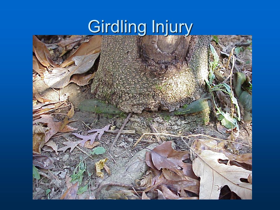 Girdling Injury