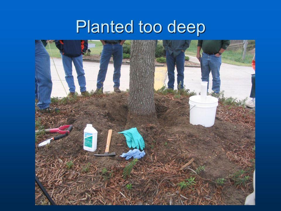 Planted too deep
