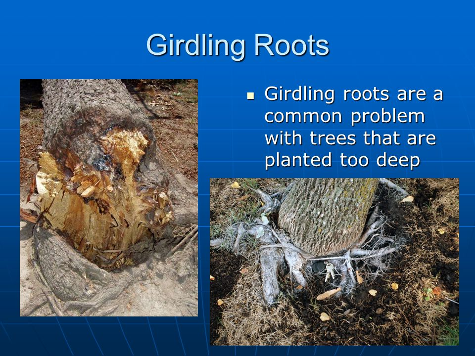 Girdling Roots Girdling roots are a common problem with trees that are planted too deep