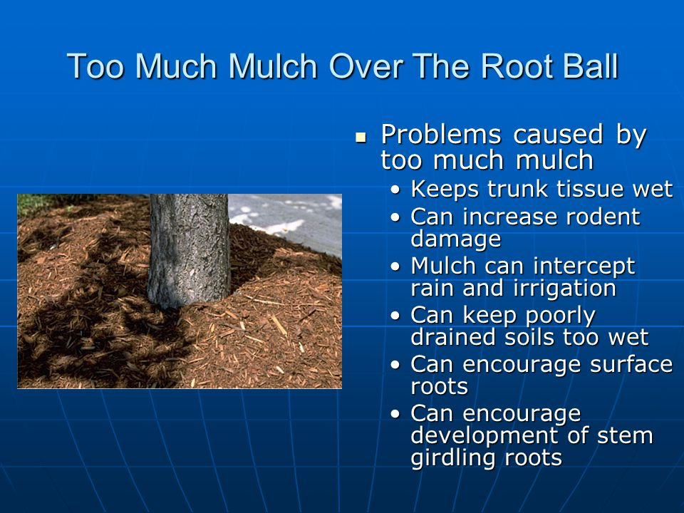 Too Much Mulch Over The Root Ball