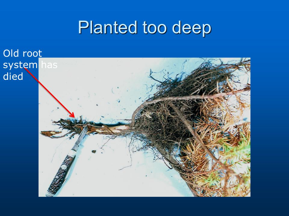Planted too deep Old root system has died