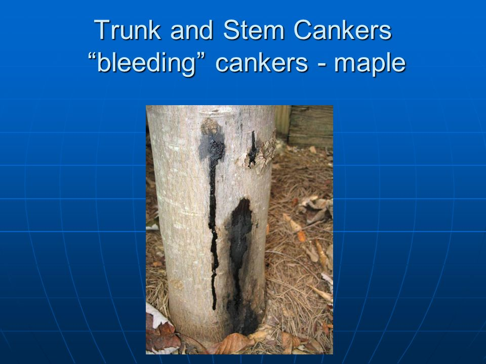Trunk and Stem Cankers bleeding cankers - maple
