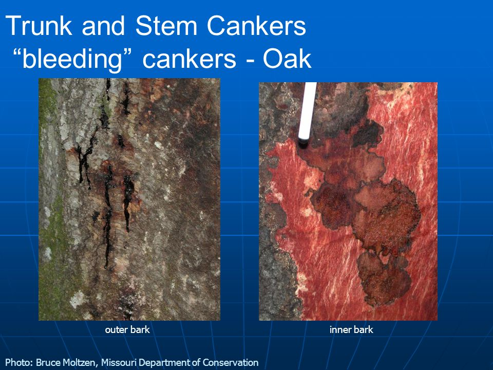 Trunk and Stem Cankers bleeding cankers - Oak