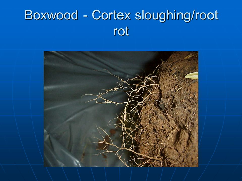 Boxwood - Cortex sloughing/root rot