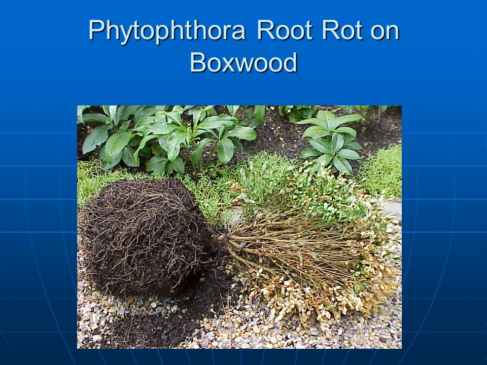 Phytophthora Root Rot on Boxwood