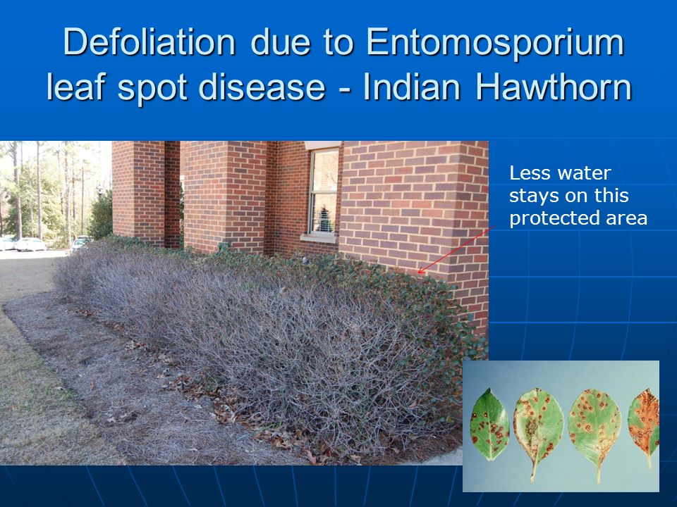 Defoliation due to Entomosporium leaf spot disease - Indian Hawthorn