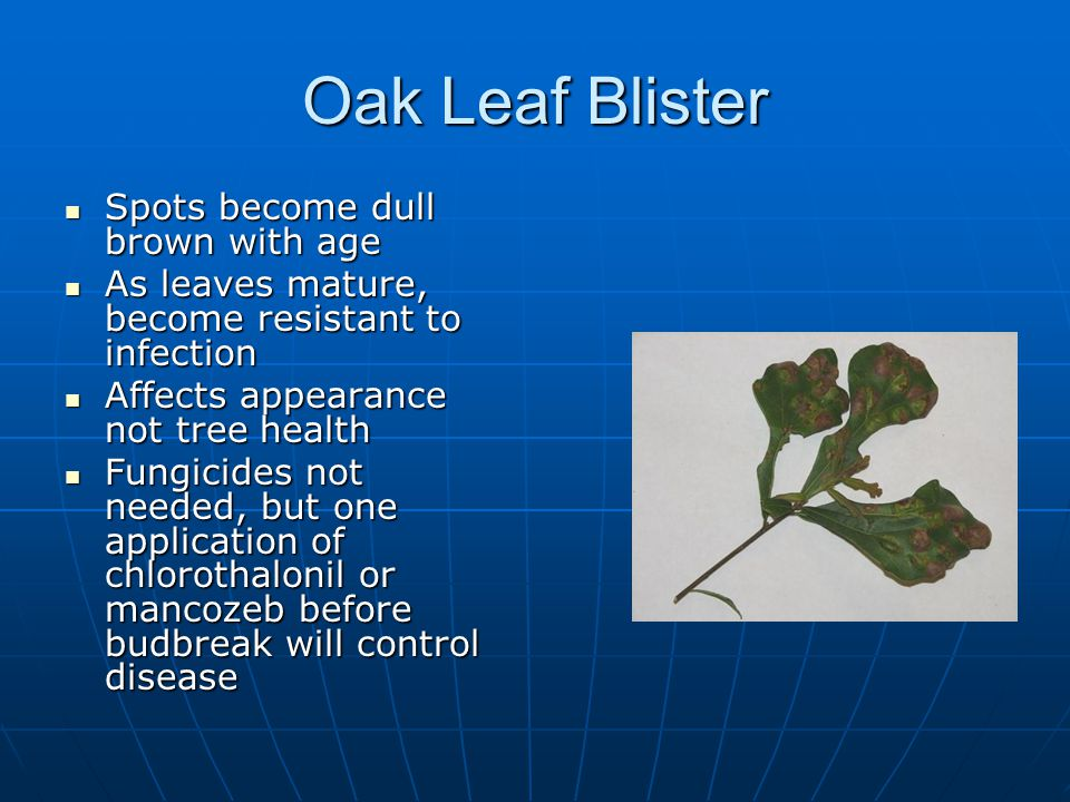 Oak Leaf Blister Spots become dull brown with age