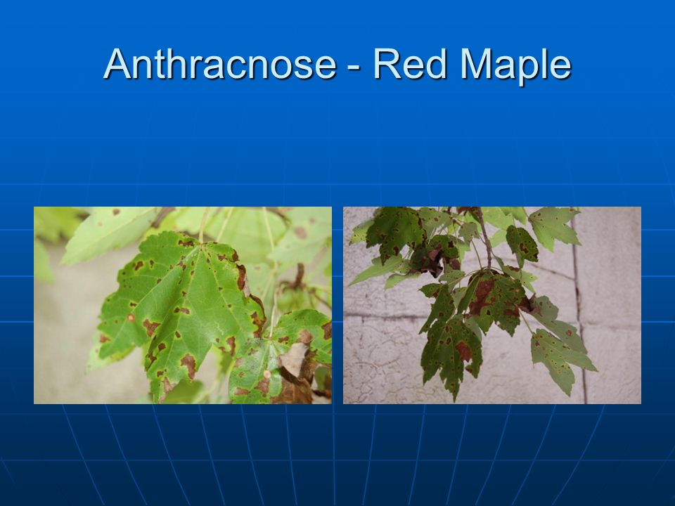 Anthracnose - Red Maple